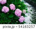 紫陽花・川 54163257