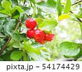 Cherry tree with wet rain af the garden. 54174429