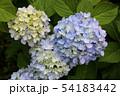 梅雨空の下で咲く紫陽花(3) 54183442