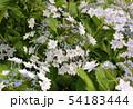 梅雨空の下で咲くガクアジサイ(4) 54183444
