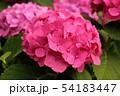 梅雨空の下で咲く紫陽花(6) 54183447