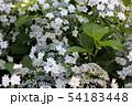 梅雨空の下で咲くガクアジサイ(5) 54183448