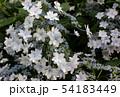 梅雨空の下で咲くガクアジサイ(6) 54183449