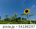 ひまわり畑と青空 54186297