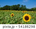 ひまわり畑と青空 54186298