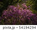 Bush flower maralnik. closeup 54194294