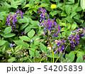 Inflorescences of purple flowers  in the garden 54205839