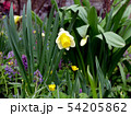 White and yellow nascissus flower in the meadow 54205862