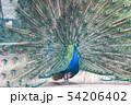 孔雀, インドクジャク 54206402