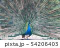 孔雀, インドクジャク 54206403
