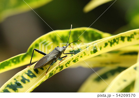 生き物 昆虫 ヒゲナガヘリカメムシ、南方系の外来種。ヒゲナガというほど触角は長くないようですが・・・ 54209570