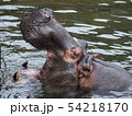 東山動物園・カバ 54218170