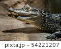 ワニ 動物園 爬虫類 わに 54221207