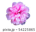 pink Peony flower isolated on white background 54225865