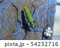 洗濯物に止まったアオカミキリ、昆虫イメージ素材 54232716