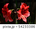 アマリリス、花イメージ素材、赤い花 54233386