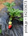 イチゴ、初めての畑イメージ素材 54233673