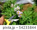 ジャガイモの花、摘むべきか、摘まざるべきか、初めての畑イメージ素材 54233844