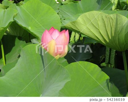 千葉公園のオオガハスの桃色の花 54236039