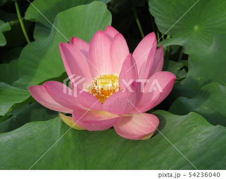 千葉公園のオオガハスの桃色の花 54236040