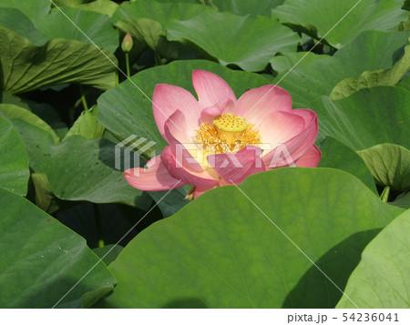 千葉公園のオオガハスの桃色の花 54236041