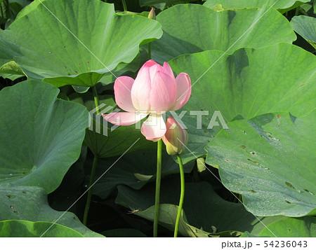 千葉公園のオオガハスの桃色の蕾 54236043