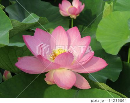 千葉公園のオオガハスの桃色の花 54236064