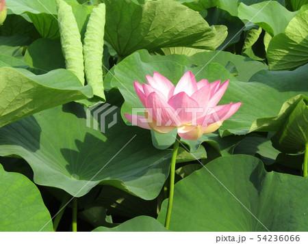 千葉公園のオオガハスの桃色の花 54236066