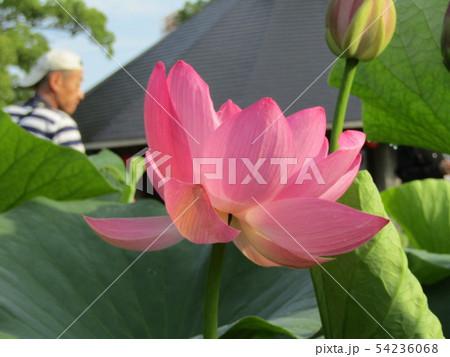 千葉公園のオオガハスの桃色の花 54236068