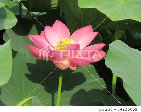 千葉公園のオオガハスの桃色の花 54236069