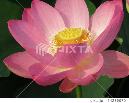 千葉公園のオオガハスの桃色の花 54236070