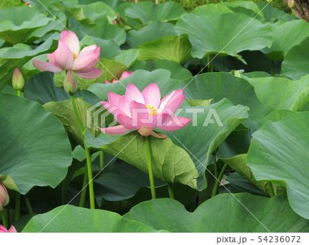 千葉公園のオオガハスの桃色の花 54236072
