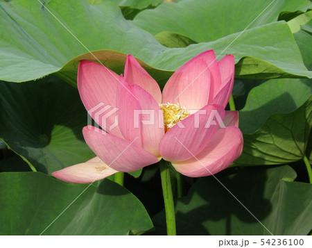 千葉公園のオオガハスの桃色の花 54236100
