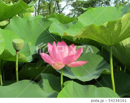 千葉公園のオオガハスの桃色の花 54236101