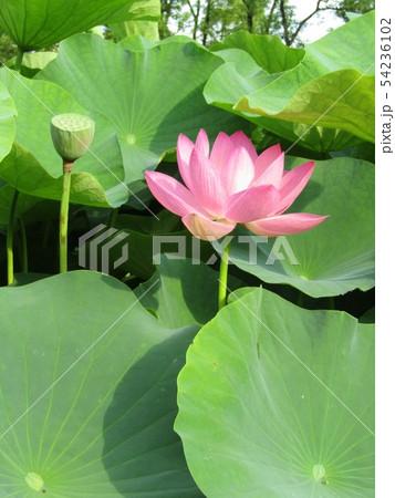 千葉公園のオオガハスの桃色の花 54236102