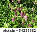 釣鐘状の紫色の花はホタルブクロノ花 54236682