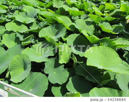 千葉公園のオオガハスの葉に溜まった水玉 54236684
