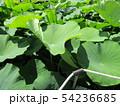 千葉公園のオオガハスの葉に溜まった水玉 54236685