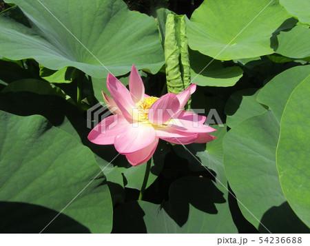千葉公園のオオガハスの桃色の花 54236688