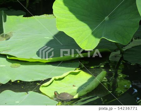 千葉公園のオオガハスの葉に溜まった水玉と小亀 54236771