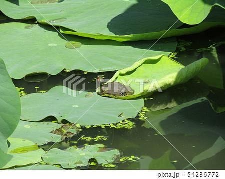 千葉公園のオオガハスの葉に溜まった水玉と小亀 54236772