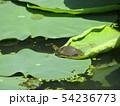 千葉公園のオオガハスの葉に溜まった水玉と小亀 54236773