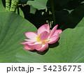 千葉公園のオオガハスの桃色の花 54236775