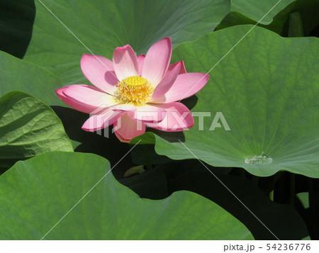 千葉公園のオオガハスの桃色の花 54236776