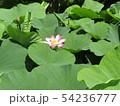 千葉公園のオオガハスの桃色の花 54236777
