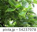 庭で育つ柿木の実 54237078