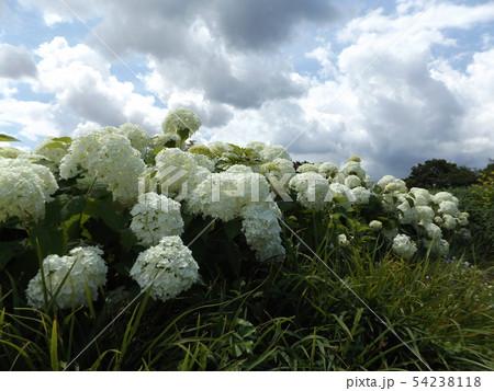 ハイドランジアアナベルというアジサイの白い花と青い空と白い雲 54238118