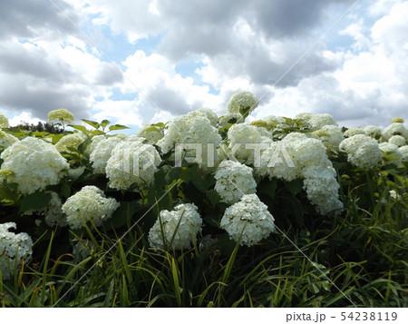 ハイドランジアアナベルというアジサイの白い花と青い空と白い雲 54238119