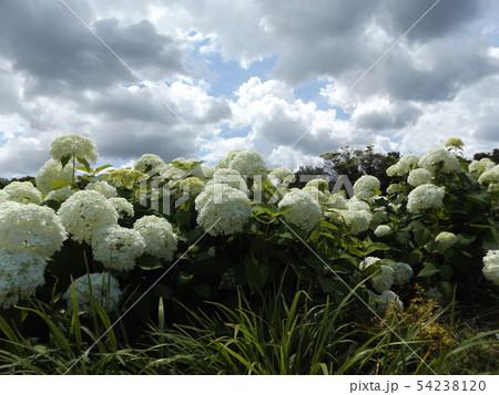 ハイドランジアアナベルというアジサイの白い花と青い空と白い雲 54238120