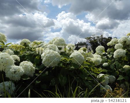 ハイドランジアアナベルというアジサイの白い花と青い空と白い雲 54238121